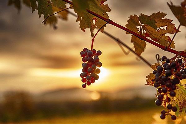 Sankt Vincent beskyddar vingårdar
